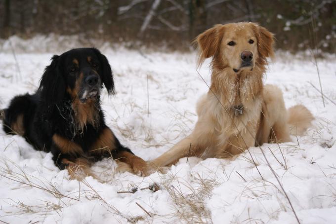 Hovis im Schnee