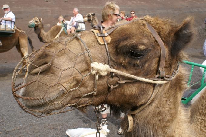 Insel-Kamel